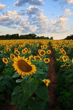 Sunflower Garden, Sunflower Fields, Cute Wallpaper Backgrounds, Cute Wallpapers, Free Photography, Nature Photography, Flowers Nature, Beautiful Flowers, Sunflower Pictures