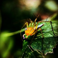 #yellow #green #macro #insect #spider #forest #indonesia