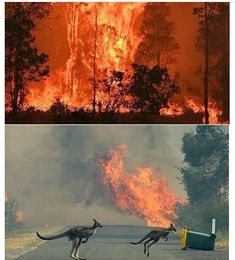 Pray for Australia Animals life Forest Fire