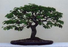 Harry W. Ramirez, Brazilian Rain Tree (Pitecellobium Tortum), Height: 18 in, cm Bonsai Garden, Bonsai Trees, Herb Garden, Ikebana, Photo Contest, Succulents, Tropical, Herbs, Flowers