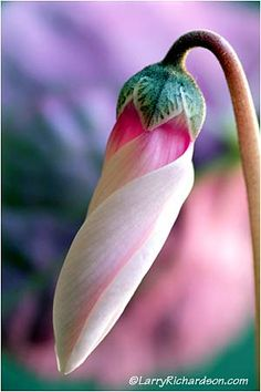 Cyclamen. Keep your eyes on God; He never takes His eyes off you.
