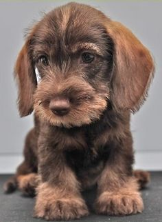 Dachshund Puppies For Sale, Funny Dachshund, Kittens And Puppies, Dachshund Love, Dachshunds, Cute Puppies, Daschund, Baby Dogs, Pet Dogs