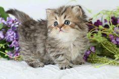 Teacup kitty.