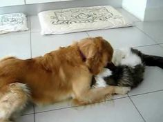 Crazy cat (Mr Fox) versus Golden Retriever (Riley) - Dr Katrina Warrens fur friends animals