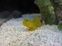 Watchman Goby  Saugus, CA