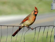 Beautiful day, beautiful Cardinal!