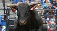Remembering PBR's Shepherd Hill's Tested (D & H Cattle Co.) 2008-2017