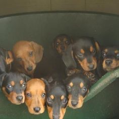 A bucket of dachshunds. I wish one of these guys would come to our house to live!