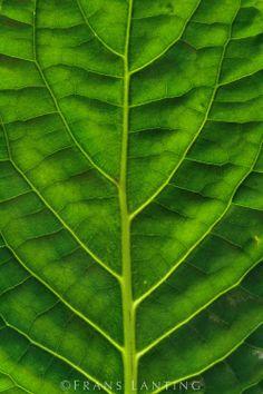 leaf chestnut patterns   Leaf, Manu National Park, Peru