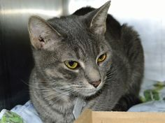 Gigi is a lovely, slender young lady. She's an immaculate silver tiger with kind amber eyes. Gigi seems a bit shy at first, but she's happy and appreciative when she's shown affection. Please consider giving this little beauty a forever home.