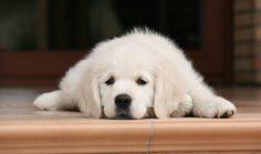 Golden Retriever puppy - I want this! Labrador Retriever, Golden Retriever, Easy Home Recipes, Dog Food Recipes, Beagle, Boxer, Puppies, Dogs, Animals