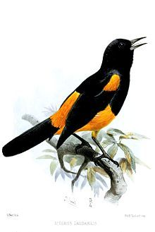 Saint Lucia Oriole - (Icterus laudabilis)
