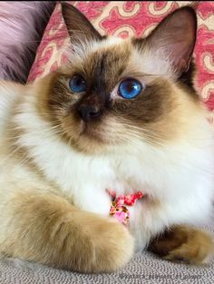 Chocolate Point Ragdoll Cat  Cat model  @Katara_Princess_of_Power