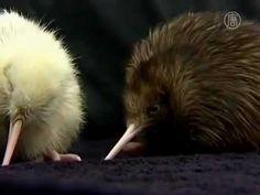 RARE White Kiwi Bird!!!! Save the Kiwi Birds!!!!