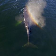 Video by @bertiegregory // Whilst filming humpback whales feeding up the inlets on the west coast of Vancouver Island, Canada, I came across an individual with a big chunk of its tail missing. My immediate reaction was that humans were to blame- perhaps the whale was entangled in discarded fishing gear or it was hit by a boat. However, after speaking to a number of different whale biologists, they had a totally different idea! To find out about the tale of this whale's tail, watch this…