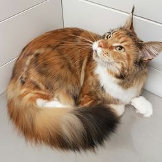 Maine coon after the grooming. Nach der Fellpflege.