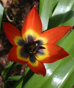 Tulip 'Little Beauty' - grows about 4 to 6 inches tall.