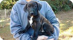 11/02/16-Prattville, AL - Labrador Retriever Mix. Meet Ejay 25685, a puppy for adoption. http://www.adoptapet.com/pet/16935672-prattville-alabama-labrador-retriever-mix