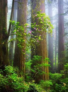 redwoods- California