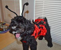 schnoodle dog halloween ladybug costume