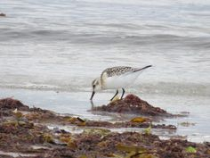A sanderling that is standerling still for once! @waderquest