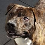 March 2015: Adopted!! My name is Sherlock. I'm a handsome Pit Bull mix who's looking for a new home. Things you should know about me: I'm a playful and goofy young boy, I'm a ball dog, and I have a happy-go-lucky attitude. Thank you to my compassion and generous sponsor!