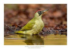 Groene Specht van vroegevogels