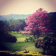 Guayacán rosado florecido. Bucaramanga