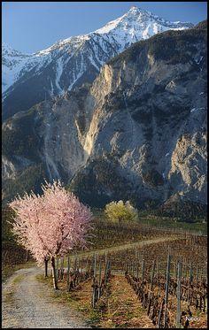 Varen, Switzerland.  Vigne arbre et montagne by Nicou