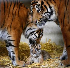 The cub with its proud parents father Bawa, right, and Surya. All three will stay living a...