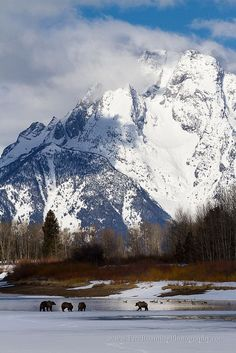 Grizzly Bears Along Oxbow Bend in winter, Grand Teton National Park, Wyoming