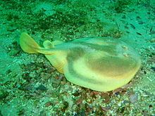 One fin Electric ray    (Cape Numbfish)                               Narke capensis                 Eenvin-drilvis