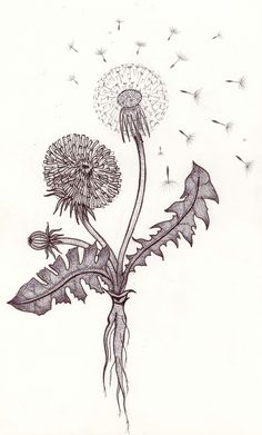 40+ THINGS TO DO WITH DANDELIONS!  http://wildcraftvita.blogspot.it/2013/01/things-to-do-with-dandelions.html  Illustration by Rachael Rice