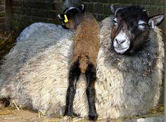 """Het is waarschijnlijk verwant aan de kortstaart Noorse Spealsau. De Vikingen brachten deze dieren meer dan 1000 jaar geleden naar Shetland. Door het eeuwenlange betrekkelijke isolement van Shetland bleven de oorspronkelijke kenmerken bewaard.  De Shetland staat te boek als een primitief schaap, als een niet """"verbeterd"""" ras.Wel heeft het ras zijn natuurlijke kenmerken behouden, zoals winterhardheid, probleemloos lammeren, het bereiken van een hoge leeftijd en een buitengewoon fijne vacht."""