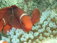 Nemo, Great Barrier Reef, QLD, Australia