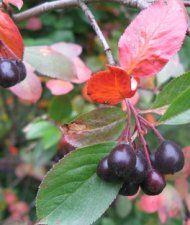 Marja-aronia (Aronia Prunifolia-ryhmä)