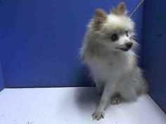 BABY is an adoptable Pomeranian Dog in Brooklyn, NY.  ...