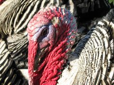 Narragansett turkeys--on the menu for thanksgiving 2012!