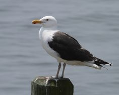 North America's largest gull species, Great Black-backed Gull is common along the northeast coastline. Description from birdspix.com. I searched for this on bing.com/images