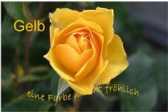 Keys To Planting Roses In Colder Areas - Front Range Landscaping Pros Yellow Things 6 yellow roses meaning Blossom Garden, Bloom Blossom, Yellow Rose Flower, Yellow Flowers, Lemon Flowers, Colorful Roses, Pretty Flowers, Yellow Flower Wallpaper, Good Morning Rose Images