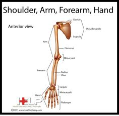 Shoulder, Arm, Forearm, Hand