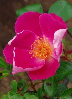 'Ramona (hybrid laevigata, Dietrich & Turner, 1913)' rose