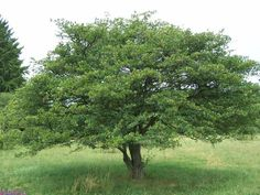 cockspur hawthorn - Google Search