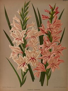 Gladiolus floribundus - circa 1881   From our collection of …   Flickr