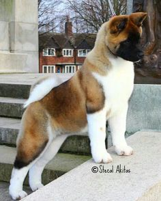 Beautiful Akita puppy