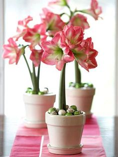 Amaryllis  These bulbs are easy to force. Flower colors of red, white, pink, orange, salmon and bicolor suit any style.
