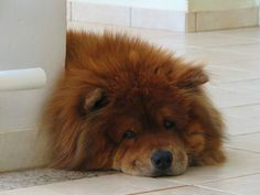chow chow dogs -