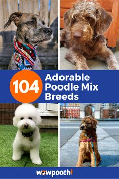 104 Adorable #Poodle #Mixes That'll Melt Your Heart – Find the Best #Poodle #Mix. If you love #Poodles and cannot acquire one, you can #adopt a #poodle #mix. #Poodle #Mix #Breeds are very much as adorable as #purebred #Poodles. These #pets enjoy being #groomed and dressed. Every #photographer wants to do a #photo-shoot with a #Poodle #Mix as the center of the shoot. These #pups are easy to #train how to walk on a #leash. These mutts are also great #family members. Poodle Cross Breeds, Poodle Mix Breeds, Big Dog Little Dog, Big Dogs, Bernese Mountain Dog Mix, Cocker Spaniel Poodle, Best Apartment Dogs, Boxer Dog Breed, Rat Terrier Mix