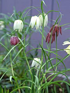 Kungsängslilja Mix Sniglar, Plants, Branding, Nature, Flora, Plant