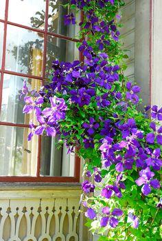 Beskärning av klematis indelat i grupper för maximal blomning | Wexthuset Clematis, Window View, My Secret Garden, Green Plants, Merida, Garden Inspiration, Gardening Tips, Flower Power, Decoration